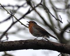 late winter song (Johnson Cameraface) Tags: 2019 february winter olympus omde1 em1 micro43 mzuiko 40150mm f40f56r johnsoncameraface robin bird song tree