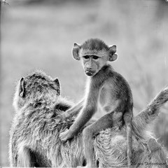 young baboon (juergen tiefenthaler) Tags: baboon tanzania selous bw schwarzweiss monochrome wildlife outdoor africa animals travel blackandwhite