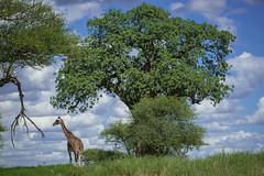 Tarangire at it's best (lamydude) Tags: safari giraffe tarangire tanzania