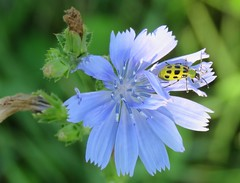 spotted cucumber beetle on chicory (Cheryl Dunlop Molin) Tags: insect wildflower spottedcucumberbeetle chicory indianawildflowers coth cucumberbeetle beetle insectonflower specinsect coth5