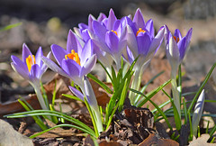 Finally I found some signs of spring 🌷💙 (L.Lahtinen (nature photography)) Tags: spring flowers finland beauty bokeh nikond3200 nikkor55300mm springflower springtime crocuses nature naturephotography kukat kevätkukat krookukset kevät luonto flora