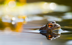 DSC_5912 (vogellukas17) Tags: reptile reptil toad frog kröte frosch nature wildlife