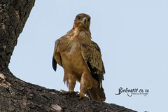 Tawny Eagle, Nhlanguleni, Kruger National Park, Jan 2019 (roelofvdb) Tags: 132 2019 date eagletawny eagles january knp moth mothsofsafrica place southernafricanbirds tawnyeagle tsh tshokwane year