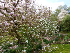 P1180793 (jrcollman) Tags: collepardo gardens magnolia narcissus places plants aplant amelanchier eplant magnoliasoulangeana exochordaxmacranthathebride mplant nplant