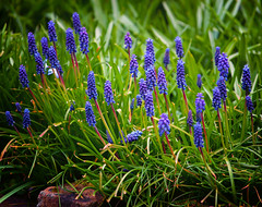 Grape Hyacinth (Missy Jussy) Tags: grapehyacinth springtime spring mygarden newhey flowers sunlight april 2019 leaves stone wall outdoor outside naturallight 70200mm ef70200mmf4lusm canon5dmarkll canoneos5dmarkii canon northwest england