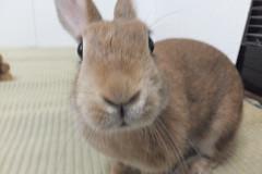 Ichigo san 1531 (Errai 21) Tags: いちごさん ichigo san  ichigo rabbit bunny cute netherlanddwarf pet うさぎ ウサギ いちご ネザーランドドワーフ ペット 小動物 1531