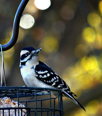 Woodpecker, Downy on the feeder (Lynn English) Tags: woodpecker downeyribbet