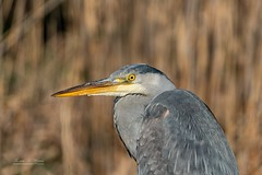Gray Heron Portrait (THW-Berlin) Tags: birds animals vögel tiere aves gray grau sony alpha6500 nature