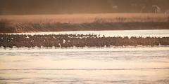 Platte River Morning (jeff_a_goldberg) Tags: platteriver spring gruscanadensis sunrise kearney wildlife crane bird fortkearnystaterecreationarea bif centralplatterivervalley sandhillcrane birdinflight nebraska nature gibbon unitedstatesofamerica us