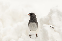 Junco Alert-40946.jpg (Mully410 * Images) Tags: birdwatching birding backyard junco bird birds birder alert darkeyedjunco
