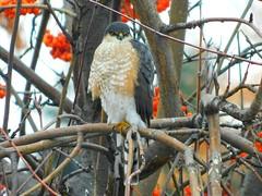 Sharp-Shinned Hawk (starmist1) Tags: hawk sharpshinnedhawk predator tree mountainashtree orangeberries branch limb twig perch january cold winter raptor yard backyard