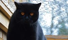 My Friend Storm (Earth Guardian Angel) Tags: myfriendstorm storm cat blackcat nikon nikond3200 animal pet cats