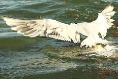 F923 Fish bites tern EF100-400/4.5-5.6 7DMkII @Mexico H89A8439 (Hiro sensei photos) Tags: ef100400mmf4556 birds mexico 7dmkii