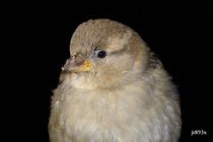 House Sparrow (jt893x) Tags: 150600mm bird d500 female housesparrow jt893x nikon nikond500 passerdomesticus portrait sigma sigma150600mmf563dgoshsms songbird sparrow coth thesunshinegroup alittlebeauty coth5