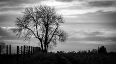 Stainton . (wayman2011) Tags: colinhart fujifilm50mmf2 fujifilmxe2s lightroom5 wayman2011 bwlandscapes mono rural trees fences pennines dales teesdale stainton countydurham uk