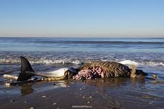 DSC03310 (ZANDVOORTfoto.nl) Tags: windstil strand zandvoort aan zee nederland netherlands beach beachlife bruinvis aangespoeld aangevreten zeehond kust jutter porpoise bruinvissen porpoises naaktstrand noordzee northsea