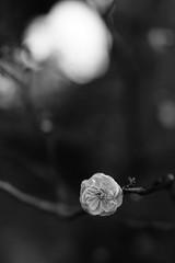 DSC02884-2 (Zengame) Tags: kameidotenjin rx rx1 rx1r sonydscrx1rsonnart235 sonnart235 sony zeiss japan kameido ソニー ツアイス 亀戸 亀戸天神 日本 東京都 jp