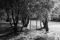 Liguria (fabiolug) Tags: light shadow shadows trees tree trunk branches branch nature liguria ligury italy italia leicammonochrom mmonochrom monochrom leicamonochrom leica leicam rangefinder blackandwhite blackwhite bw monochrome biancoenero voigtlandernoktonclassic35mmf14 voigtlandernokton35mmf14 voigtlander35mmf14 35mm voigtlander path walk walking wood woods
