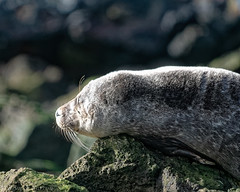 sleeping in sunshine (RCB4J) Tags: art ayrshire ayrshirecoast clydecoast commonseal firthofclyde nature photography rcb4j ronniebarron scotland sigma150500mmf563dgoshsm sonyilca77m2 stevensonpoint waders wildlife harbourseal