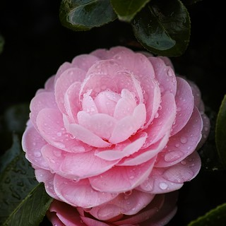 Camellia in the Rain (3/3)