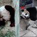 Tian Tian & Mei Xiang (Just dreamin' of my honey...) 2019-02-14 ca. 10.45 AM