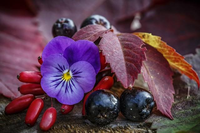 Обои осень, макро, ягоды, виола, арония картинки на рабочий стол, раздел цветы - скачать