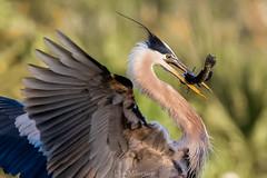 Great Blue and Catch (DonMiller_ToGo) Tags: greatblueherons fish wildlife venicerookery heron nature onawalk birds outdoors animals rookery d810 birdwatching florida