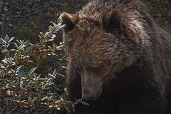 Grizzly Bear... (Somewhere in the Mountains) Tags: mountains bear grizzly wildlife nature