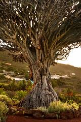 Canary Islands dragon tree, Dracaena draco. (Blaise Olivier) Tags: canary tenerife atlantic island îles canaries tree arbre remarquable remarkable dragon drago old icoddelosvinos espagne dragontree dracaenadraco spain