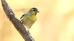 Siskin (m) (Mick Lowe) Tags: bird tree perched siskin male wildlife wild carduelis spinus