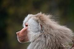 The Thinker (craig goettsch) Tags: baboon hamadryasbaboon monkey primate animals nature wildlife sandiegozoo nikon d850