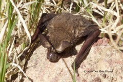 Tadarida brasiliensis, Mexican freetail bat, drying out (Dee Shea Himes Photography) Tags: tadaridabrasiliensis mexicanfreetailbat arizona az tucson