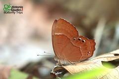 The Abnormal Judy - ผีเสื้อปีกกึ่งหุบลายแปลก (Antonio Giudici Butterfly Trips) Tags: theabnormaljudy ผีเสื้อปีกกึ่งหุบลายแปลก doiinthanon chiangmai thailand lycaenidae riodininae abisaraabnormis dsf dryseasonform