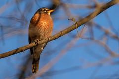 Orange & Blue ... Spring is Near (Ken Krach Photography) Tags: robin bird