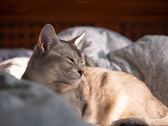 20190226_14_LR (enno7898) Tags: panasonic lumix lumixg9 dcg9 35100mm f28 xvario pet cat abyssinian
