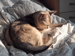 20190226_31_LR (enno7898) Tags: panasonic lumix lumixg9 dcg9 xvario 35100mm f28 cat abyssinian pet
