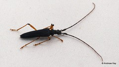 Longhorn beetle, Distenia chaparensis? Disteniidae (Ecuador Megadiverso) Tags: andreaskay beetle cerambycidae coleoptera disteniidae ecuador longhornbeetle wildsumaco disteniachaparensis