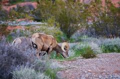 Grazing bighorn (Rob McC) Tags: mammal animal fauna bighorn oviscanadensis nevada usa valleyoffire