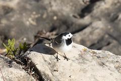 White wagtail (ramosblancor) Tags: naturaleza nature animales wildlife aves birds lavanderablanca motacillaalba whitewagtail motalb macho male adulto adult primavera spring madrid españa spain