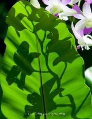 National Orchid Garden (O.Hahn Photography) Tags: singapore singapur nikond90 lionstate asia asien travel reisen city stadt unique einzigartig orchid orchidee nationalorchidgarden flowers blumen flora fauna nahaufnahme closeup makro macro colours bunt farben blüten