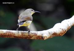 DSCN6152 Purple-rumped Sunbird-Female (Leptocoma zeylonica) (vlupadya) Tags: greatnature animal aves fauna indianbirds purplerumped sunbird female leptocoma kundapura kanataka