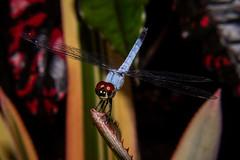 Dragonfly (betadecay2000) Tags: dragonfly territory wildlife park darwin northern australia libelle insekten insekt australien tier animaux animal animals tiere kleintier fluginsekt