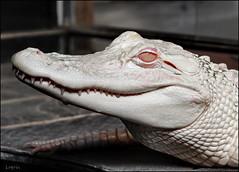 Betty (Logris) Tags: alligator albino krokodil zoo rheinberg terra reptil tier animal