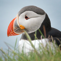 Puffin (a.penny) Tags: puffin iceland square apenny nikon d7100 papageitaucher
