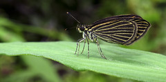 Apaustus gracilis (hippobosca) Tags: insect lepidoptera butterfly peru macro hesperiidae skipper apaustusgracilis