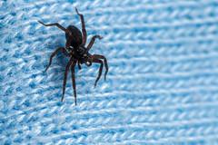 Black and Blue, Pt. 2 - _TNY_4476 (Calle Söderberg) Tags: macro canon canon5dmkii canoneos5dmarkii canonef100mmf28usmmacro canon5dmarkii 5d2 raynox dcr250 flash meike mk300 glassdiffusor arachnida araneae lycosidae pardosa spider spindel wolfspider vargspindel blue fabric bristles hair hairy fuzzy fuzz fur furry f22