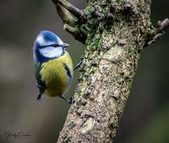 Blue tit (Explored 6/1/18) (vickyouten) Tags: bluetit bird nature wildlife wildlifephotography naturelovers nikon nikond7200 nikonphotography nikkor55300mm penningtonflash leigh uk vickyouten