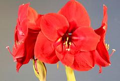 Amaryllis Cluster (ksblack99) Tags: amaryllis flower