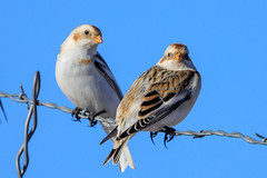 Snow Buntings (Gf220warbler) Tags: snow bunting canon 5dmk4 400mm f4 do is ii 5d mark iv bird