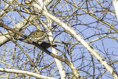 Shooing it off (StarRider1300) Tags: dove cowbird morningdove birds perched limbs birch tree